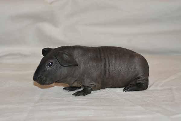 Скинни голая морская свинка